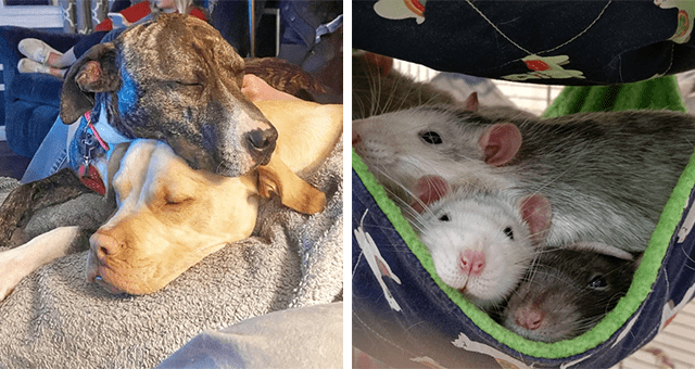 pictures of animals lying on each other | thumbnail includes two pictures including rats lying on each other and two dogs lying on each other