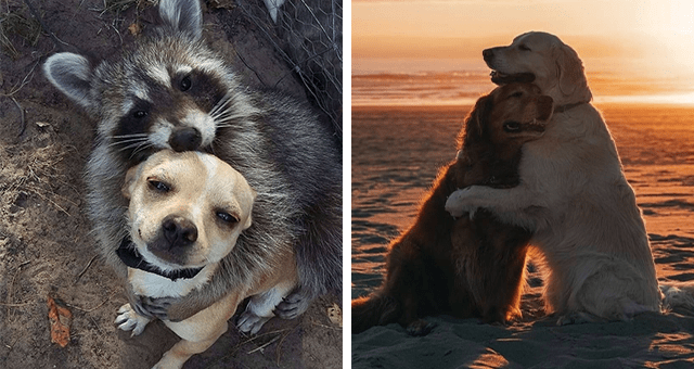 pictures of animals hugging each other | thumbnail includes two pictures including two dogs hugging and a raccoon hugging a dog