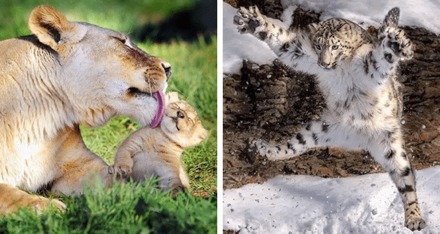 cute pictures of wild cats | thumbnail includes two pictures including a snow leopard mid-jump and a lion mom licking her cub's face