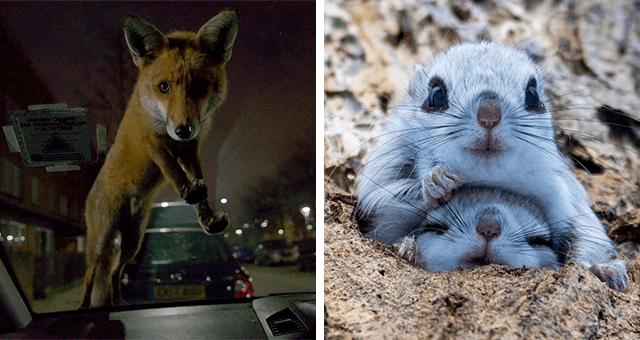 this week's collection of pictures that are worth more than 1000 words | thumbnail includes a picture of a fox climbing onto the front window of a cat and another of two baby gliders sitting on top of one another