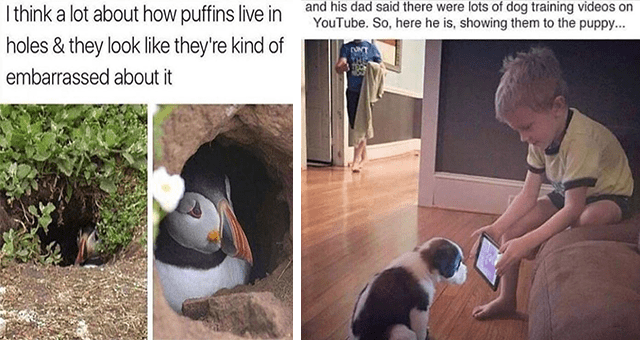 collection of animal memes for the middle of the week | thumbnail includes two memes including a puffin hiding in a hole 'Bird - I think a lot about how puffins live in holes & they look like they're kind of embarrassed about it' and another of a boy showing his phone to a dog 'Dog - and his dad said there were lots of dog training videos on YouTube. So, here he is, showing them to the puppy...'