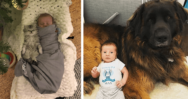 pictures of animals with babies | thumbnail includes two pictures including a newborn baby with a kitten and a baby lying on a giant dog