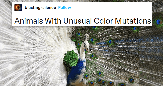 tumblr thread of animals with unique and beautiful color mutations | thumbnail includes a picture of a bicolored peacock 'blasting-silence Animals With Unusual Color Mutations'