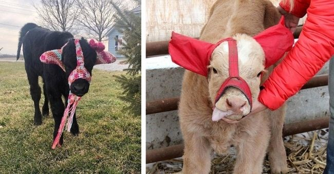 farmers make earmuffs for cows to prevent frostbite | thumbnail two images of cows wearing earmuffs