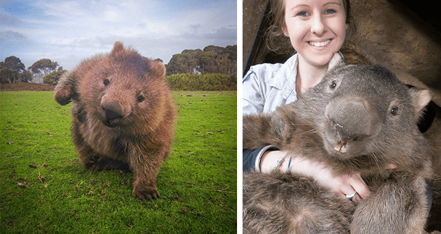 pictures of wombats | thumbnail includes two pictures including a wombat striking a pose and a woman holding a wombat