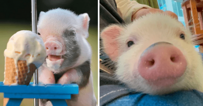 Cute pigs of Reddit | thumbnail text - Pig