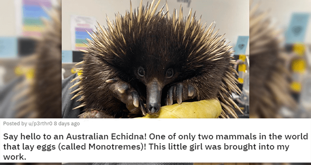 fun and cute facts about animals | thumbnail includes a picture of an Australian Echidna 'Say hello to an Australian Echidna! One of only two mammals in the world that lay eggs (called Monotremes)! This little girl was brought into my work. u/p3rthr0'
