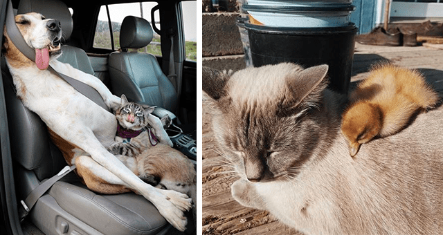 pictures of cats being friends with other animals | thumbnail includes two pictures including a cat and a dog chilling together in a car and another of a duckling lying on a cat