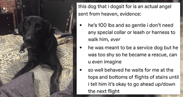 tumblr thread about a dog who was too shy to become a service dog | thumbnail includes one picture of a black Labrador and a part of a tumblr thread 'Font - this dog that i dogsit for is an actual angel sent from heaven, evidence: he's 100 Ibs and so gentle i don't need any special collar or leash or harness to walk him, ever he was meant to be a service dog but he was too shy so he became a rescue, can u even imagine so well behaved he waits for me at the tops and bottoms of flights of stairs'