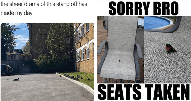 collection of animal memes for the middle of the week | thumbnail includes two memes including a cat sitting far away from a group of birds 'Car - flamin nora @katierpacker sheer drama this stand off has made my day' and a tiny bird sitting on a huge chair 'Bird - SORRY BRO SEATS TAKEN'