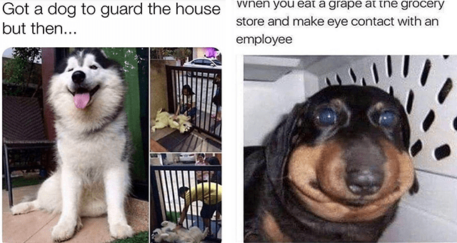this week's collection of dog memes | thumbnail includes two memes including a very happy dog 'Dog - Got a dog to guard the house but then...' and a dog with a puffy face 'Dog - When you éat a grape at the grocery store and make eye contact with an employee'