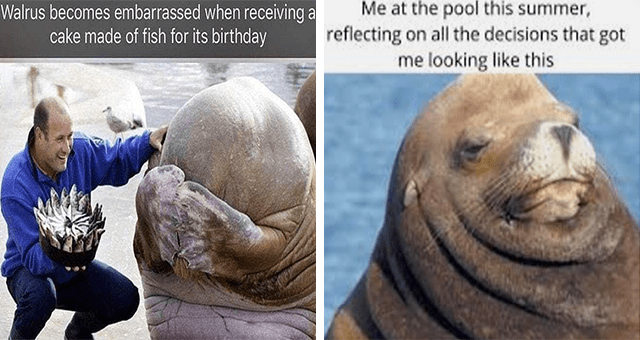 collection of walrus memes | thumbnail includes two memes including a blushing walrus getting a cake 'Head - Walrus becomes embarrassed when receiving a cake made of fish for its birthday' and a walrus with a double chin 'Water - Me at the pool this summer, reflecting on all the decisions that got me looking like this'