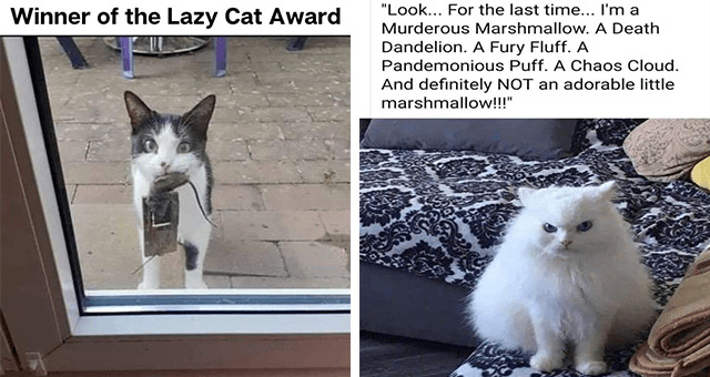 "Caturday cat memes | thumbnail includes two memes including a fluffy white cat 'Cat - ""Look... For the last time... I'm a Murderous Marshmallow. A Death Dandelion. A Fury Fluff. A Pandemonious Puff. A Chaos Cloud. And definitely NOT an adorable little marshmallow!!""' and a cat holding a mouse that's caught in a trap 'Cat - Winner of the Lazy Cat Award'"