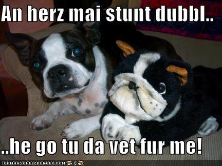 boston terrier plotting stuffed animal vet - 1423910144