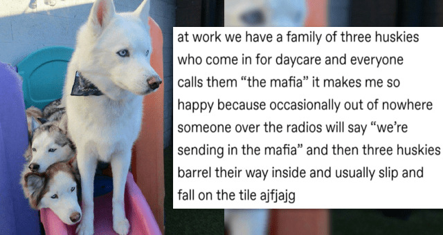 "collection of wholesome tumblr posts | thumbnail includes a picture of a husky and husky babies and a section of a tumblr post 'Dog - A gaytectives at work we have a family of three huskies who come in for daycare and everyone calls them ""the mafia"" it makes me so happy because occasionally out of nowhere someone over the radios will say ""we're sending in the mafia"" and then three huskies barrel their way inside and usually slip and fall on the tile ajfjajg gaytectives the white one '"