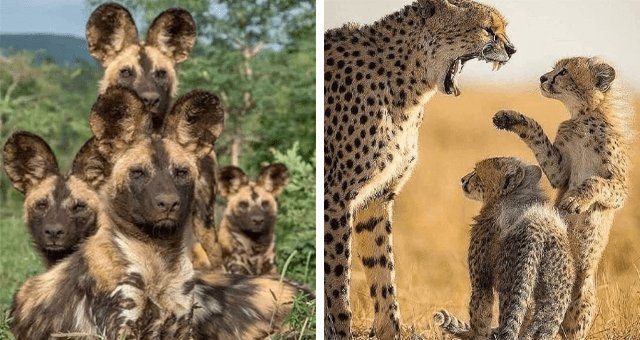 pictures of animal moms with their kids | thumbnail includes two pictures including a cheetah mom yelling at her kids and an animal with big ears and its kids
