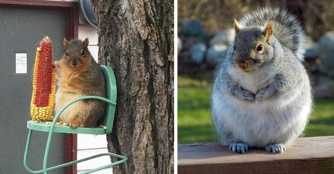 chonky squirrels who stole too many nuts | thumbnail two images of fat squirrels