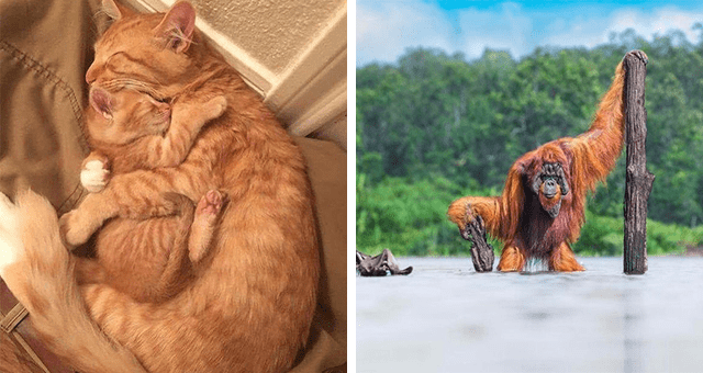 this week's collection of pictures that are worth more than 1000 words | thumbnail includes two pictures including a cat hugging a kitten and an orangutan wading across a river