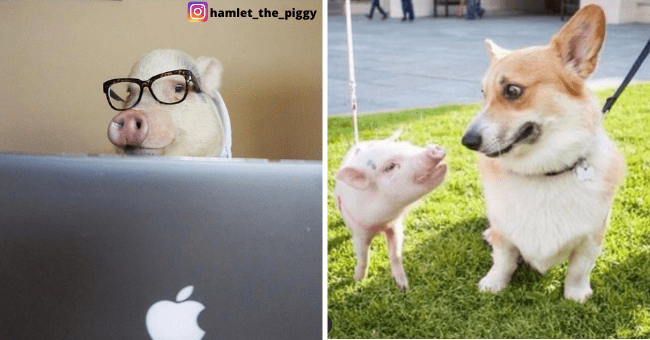 Instagram Animal Spotlight of Hamlet the Piggy | Thumbnail is two instagram post images of hamlet the piggy