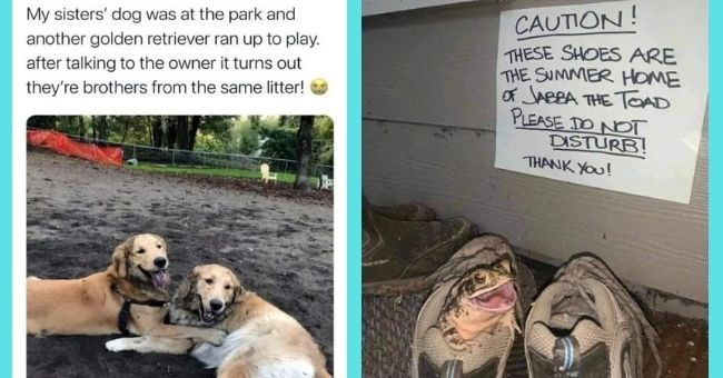 heartwarming animal posts bringing all the feels | thumbnail text - My sisters' dog was at the park and another golden retriever ran up to play. after talking to the owner it turns out they're brothers from the same litter! CAUTION! THESE SHOES ARE THE SUMMER HOME of JABBA THE TOAD PLEASE DO NOT DISTURB! THANK YOu!