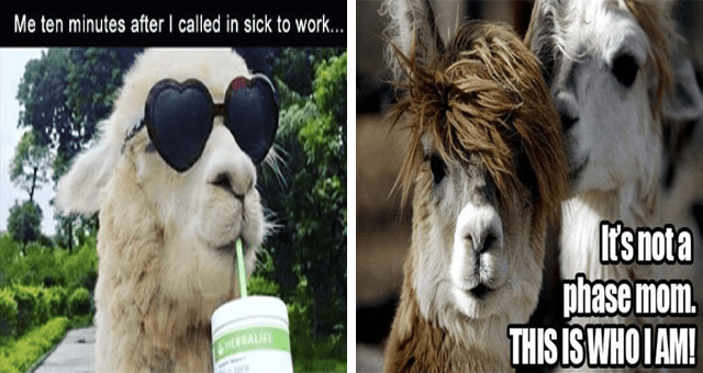 List of Llama Related Memes | thumbnail is two llama memes side by side
