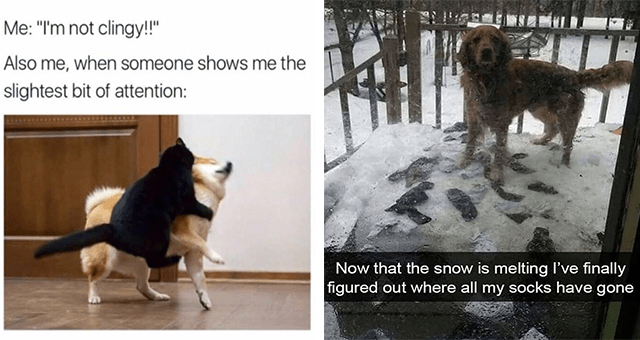 "this week's collection of dog memes | thumbnail includes two memes including a cat jumping onto a dog 'Dog - Me: ""I'm not clingy!!"" Also me, when someone shows me the slightest bit of attention:' and a dog surrounded by socks in snow 'Dog - Now that the snow is melting I've finally figured out where all my socks have gone'"