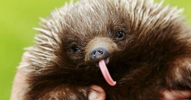 list cute echidna animals - 1427717