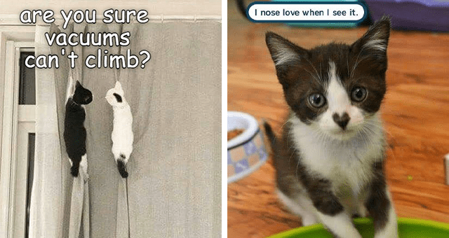 ichc original cat memes lolcats | thumbnail includes two memes including two kittens hanging off a curtain 'Product - are you sure vacuums Can't climb?' and a kitten with a heart pattern on its nose 'Cat - I nose love when I see it.'