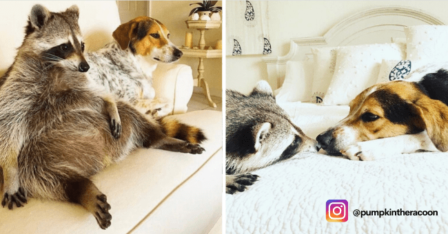 List Instagram Spotlight of Pumpkin The Racoon | thumbnail is one picture of racoon sitting on couch next to dog, next to one picture of racoon and dog with instagram information