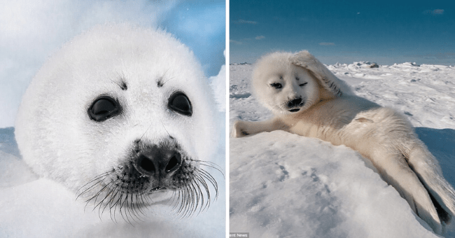 compilation of baby seal pictures | thumbnail two pictures of baby seals side by side