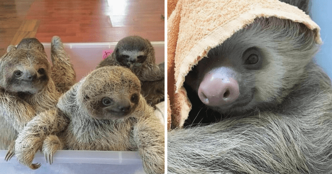 Series of Cute Sloth Pictures| thumbnail right picture of group of playing sloths, left picture of small sloth with large nose