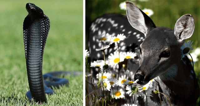 pictures of melanistic animals | thumbnail includes two pictures including a black deer and a black snake