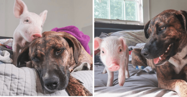Unlikely Friendship Spotlight Between Dog and Pig | Thumbnail is two pictures of the unlikely pair (small pig and dog)