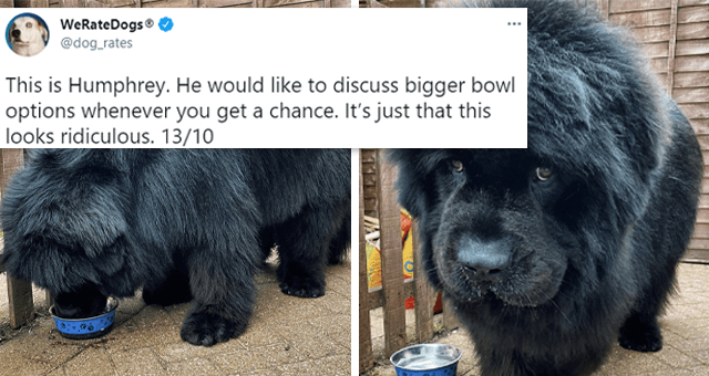 fresh collection of tweets from @dog_rates | thumbnail includes two pictures of a huge fluffy black dog near a tiny food bowl and one tweet 'Dog - WeRateDogs @dog_rates ... This is Humphrey. He would like to discuss bigger bowl options whenever you get a chance. It's just that this looks ridiculous. 13/10 2:54 AM Apr 20, 2021 - Twitter for iPhone 14.2K Retweets 1,347 Quote Tweets 163K Likes'