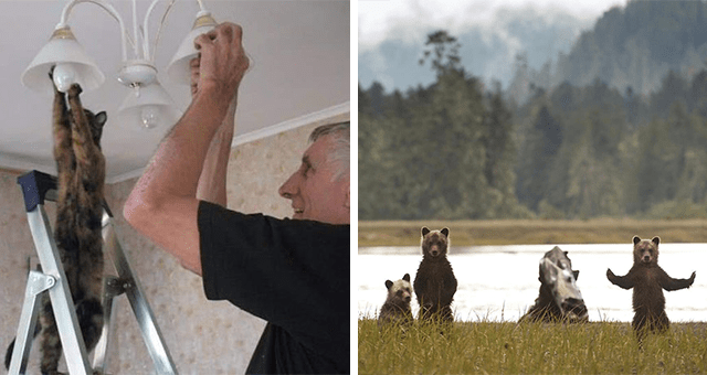 this week's collection of pictures that are worth more than 1000 words | thumbnail includes two pictures including a cat putting up a light bulb next to a person and another of bear cubs posing