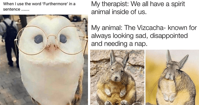 collection of animal memes for the middle of the week | thumbnail includes two memes including an owl wearing glasses 'Nose - When I use the word 'Furthermore' in a sentence ..' and two pictures of Vizcachas 'Nature - My therapist: We all have a spirit animal inside of us. My animal: The Vizcacha- known for always looking sad, disappointed and needing a nap.'