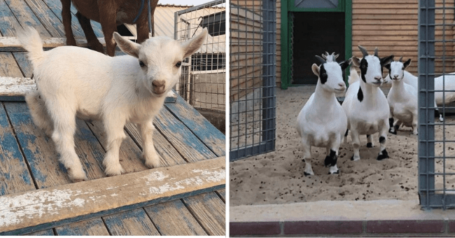 Collection of 18 Pygmy Goat Pictures | thumbnail left pic small white pgymy goat, thumbnail right pic group of small white pygmy goats