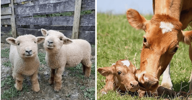 List of 12 Farm Animal and Cattle Pics | Thumbnail left picture two baby calves, thumbnail left picture of mom and baby cow