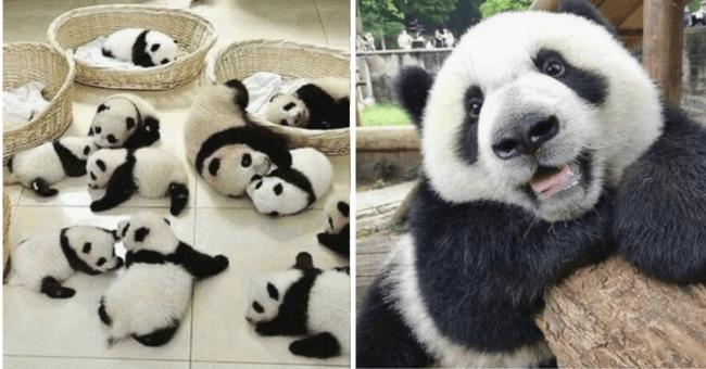 List of 20 Cute Picture of Pandas | thumbnail left picture group of panda cubs, thumbnail right picture adult panda smiling