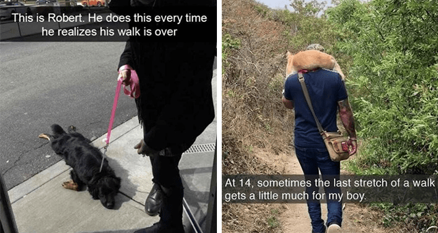 collection of wholesome dog Snapchats | thumbnail includes two snaps including a dog lying face down on the sidewalk 'Dog - This is Robert. He does this every time he realizes his walk is over' and a dog being carried on a person's back 'Jeans - At 14, sometimes the last stretch of a walk gets a little much for my boy.'