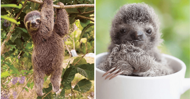 List of 16 Cute Sloth Pictures | thumbnail left pic sloth hanging from tree, thumbnail right pic baby sloth sitting inside of teacup