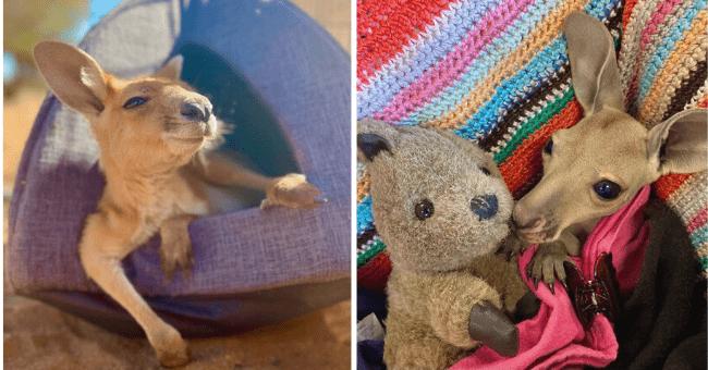 18 Pictures of Kangaroos from the Kangaroo Sanctuary | thumbnail left pic baby kangaroo relaxing, thumbnail right pic baby kangaroo cuddling with stuffed animal