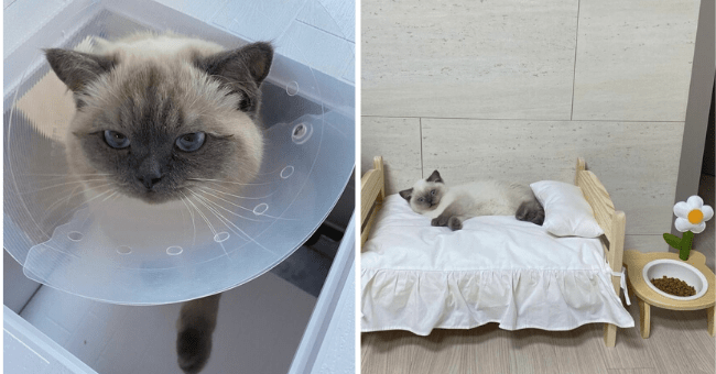 List of Brown Sugar Milk Tea The Cat, 20 Pictures | thumbnail left is BSMT the cat in a post operative cone, thumbnail left is BSMT the cat lying on his bed