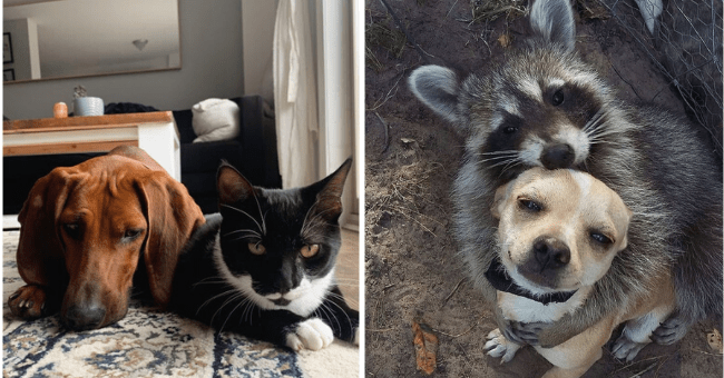 list of 12 animal pairs | thumbnail left pic dog and cat laying together, thumbnail right pic dog and racoon hugging