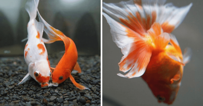 News story list goldfish memory 13 pictures | thumbnail left picture of two goldfish swimming together, thumbnail right bright orange goldfish swimming away showing beautiful orange fins