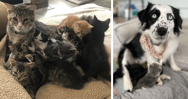 story about a senior male cat and a dog adopting kittens | thumbnail includes two pictures including a make cat snuggling kittens and a dog snuggling kittens