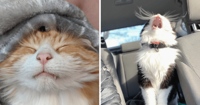 list of 15 pictures of cats with teeth out | thumbnail left picture of cat sleeping with teeth out, thumbnail right picture cat yelling with teeth out