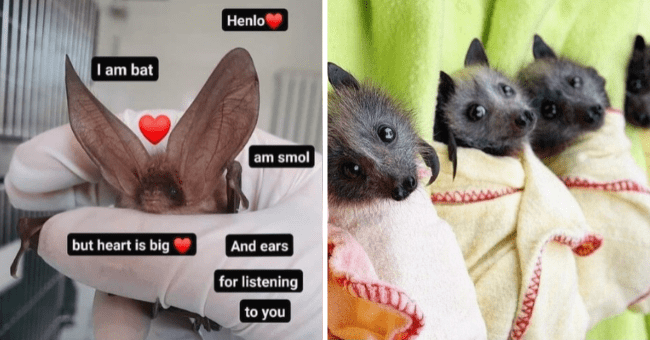 informative list about bats 12 images | thumbnail left bat meme, thumbnail right group of baby bats in blankets laying together