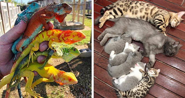 this week's collection of pictures that are worth more than 1000 words | thumbnail includes two pictures including someone holding a bunch of colorful lizards and a group of cats lying in a line