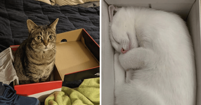 list of 12 images of cats in boxes | thumbnail left picture cat sitting in shoe box, thumbnail right picture white cat sleeping inside of white box